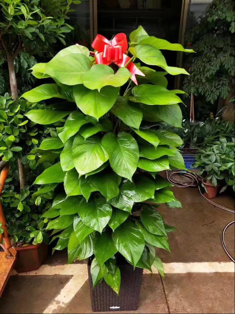 绿植盆栽租赁养护